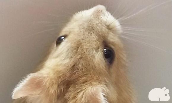 Hamster Hamtaro