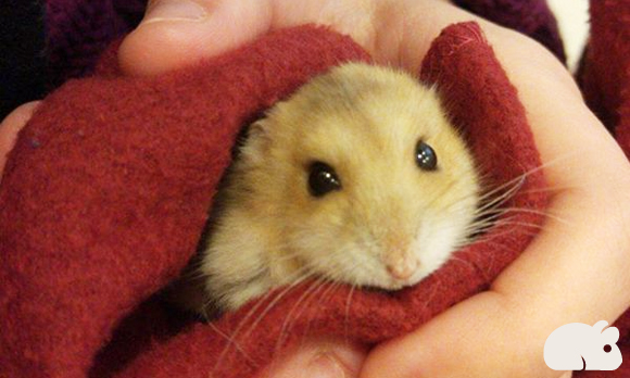 Hamsters hibernam?
