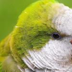 O uso de rações na alimentação de aves