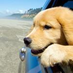 Passear de carro com cachorro!