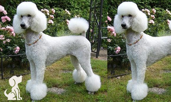 Tosa em Cães!