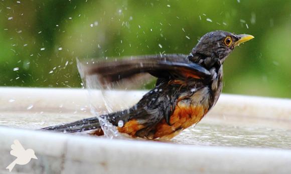 Aves podem tomar banho?
