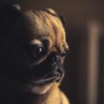 Síndrome da Ansiedade da Separação, como tratar seu cachorrinho!
