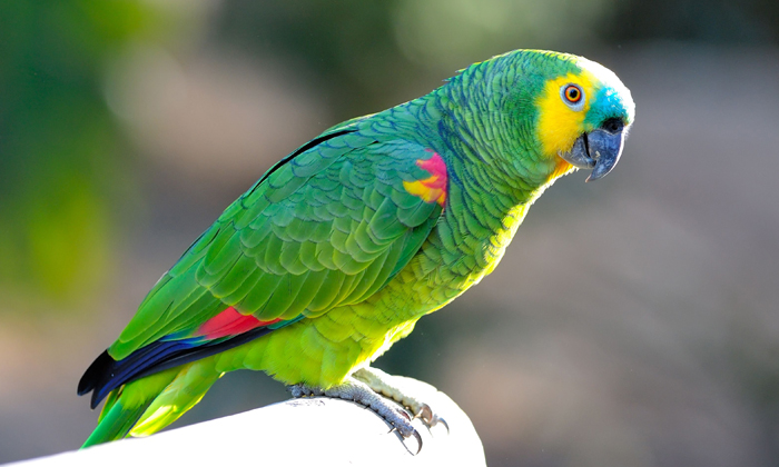 Papagaios e Caturritas